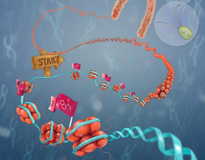 New form of DNA modification may carry inheritable information - http://scienceblog.com/78252/new-form-of-dna-modification-may-carry-inheritable-information/