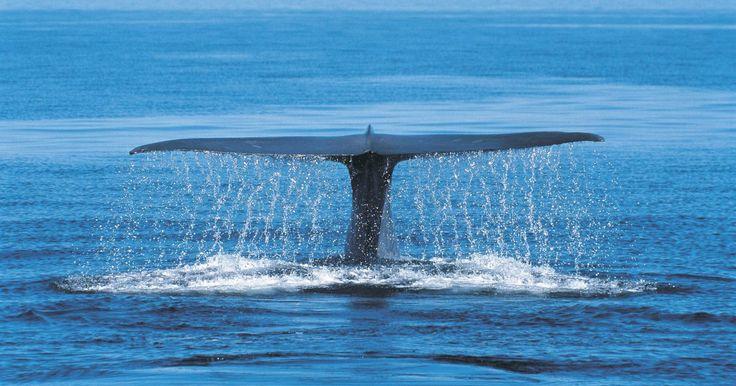Os hábitos de reprodução das baleias azuis. As baleias azuis são os maiores animais do planeta, alcançando comprimentos de aproximadamente 32 m. Geralmente as fêmeas são maiores que os machos. A maior concentração de baleias azuis pode ser encontrada em águas próximas a regiões árticas e antárticas, mas elas também habitam os oceanos Atlântico, Pacífico e Índico. Apesar de seu extenso ...