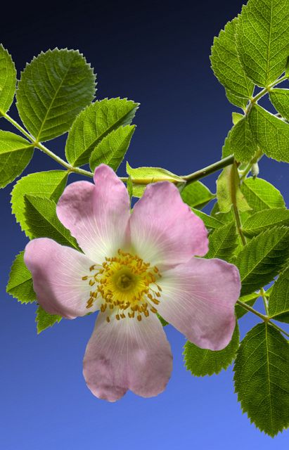"""Pink Dog Rose I know it as the """"Alberta Wild Rose"""", our Provincial flower"""