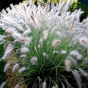 "Dwarf Chinese Fountain Grass   Seed heads appear July through September, open greenish-white, and turn a creamy tan.   Considered deer resistant and drought tolerant once established.  Will tolerate wind and salt spray. ZONES: 4-9 EXPOSURE: full sun, part shade HEIGHT: 20 - 30"" SPREAD: 18 - 30"" BLOOM TIME: mid-summer to late summer FLOWER COLOR: pinkish white SOIL/WATER REQUIREMENTS: Average Water Needs; Water regularly; well-drained soil"
