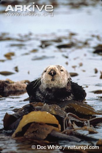 Learn more about the Sea otter - with amazing Sea otter videos, photos and facts on ARKive