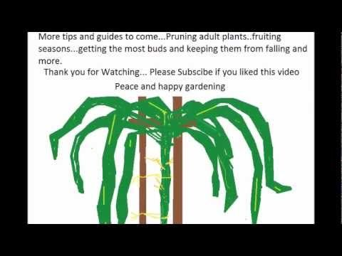How to grow a Dragon Fruit tree 101