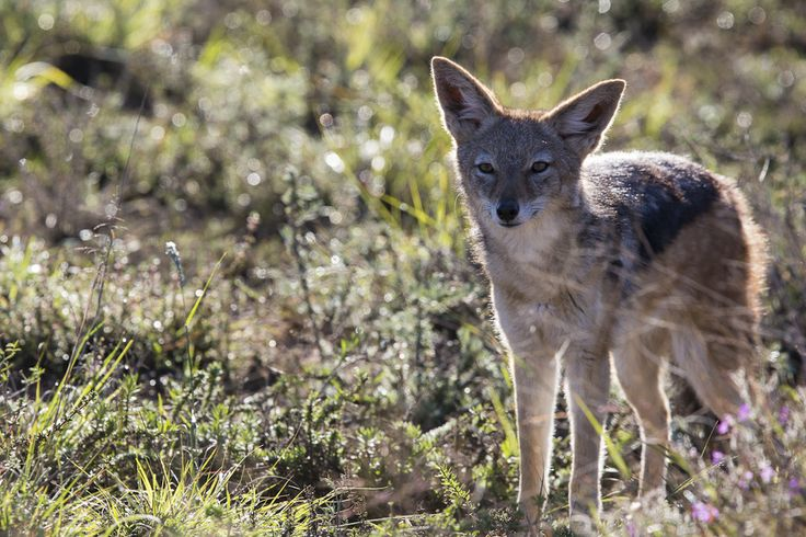 Jackal eyes - Addo Elephant National Park- Photography by Rory Alexander