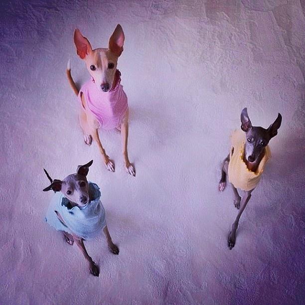 italian greyhound s gr...