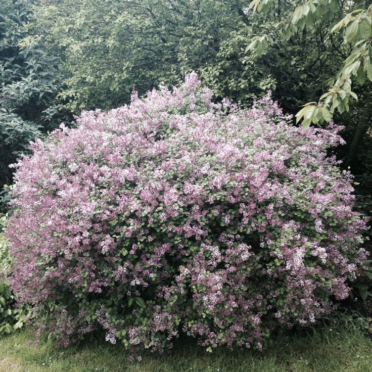 syringa meyeri 39 palibin 39 dwarf lilac kostiner plants. Black Bedroom Furniture Sets. Home Design Ideas
