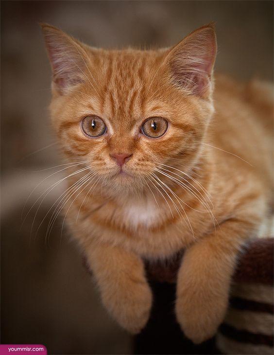 صور قطط باقة مختارة من أروع و أجمل القطط مع خلفيات Hd Orange Cats Orange And White Cat I Love Cats