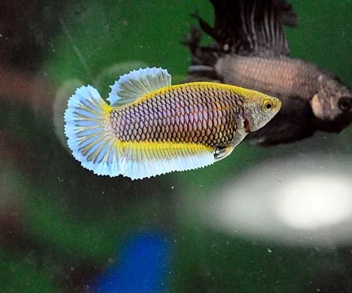 Mustard butterfly female bred by elegant bettas my for Butterfly betta fish