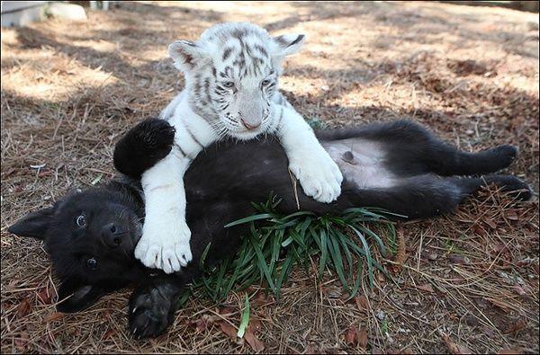 A white tiger cub pinning down a small black dog.