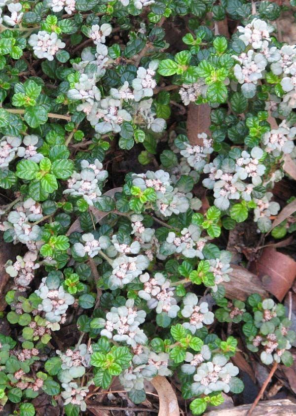 Spyridium parvifolium (Dusty Miller) is a shrub in the family Rhamnacaea, endemic to South Australia, Victoria, Tasmania and New South Wales. It grows up to 3 metres in height and produces 2 to 3 mm long white flowers in small heads
