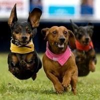 Wiener Dog RaceWeenie Dogs, Cutest Dogs, Dachshund, Dogs Racing, Happy Dogs, Weiner Dogs, Wiener Dogs, Puppies Treats, Animal