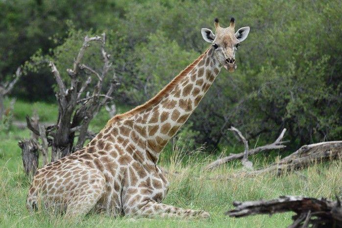 Relaxed giraffe in the Linyanti #Botswana #safari #greenseason