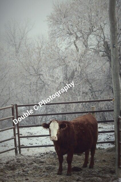 #simmental #countryliving #cow #winter #photography
