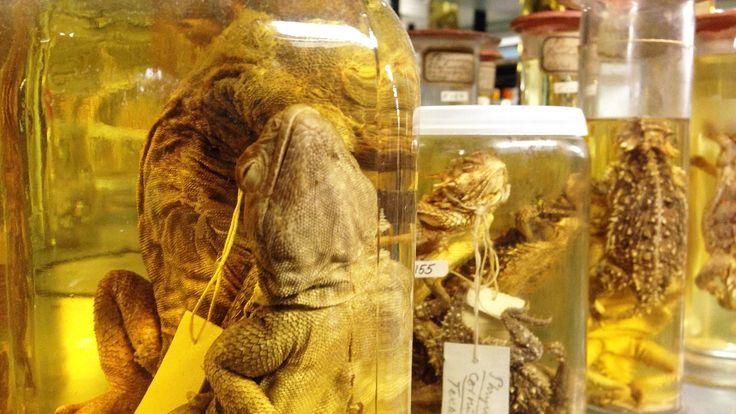 Reptiler på sprit - Hyllevis med reptiler på sprit er noe av det du vanligvis ikke får se på Naturhistorisk museum. - Foto: Rolf Petter Olai...