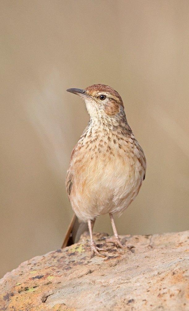 Alondra De Transvaal Eastern Longbill Transkei