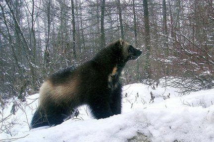 wild wolverines | ... causes cited in death of Michigan's last wild wolverine | MLive.com
