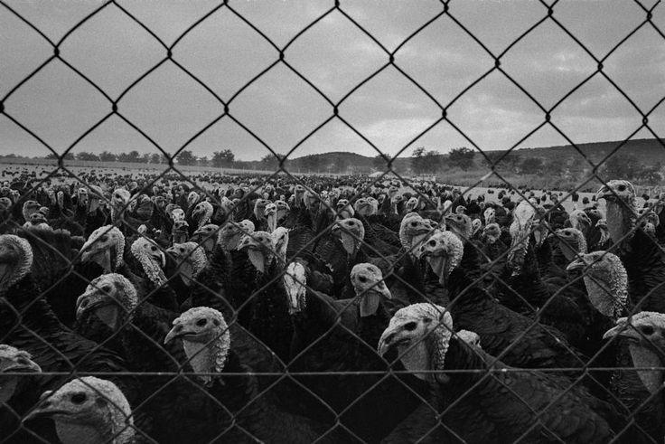 NIKOS ECONOMOPOULOS // [Turkey farm - Macedonia, 1988]