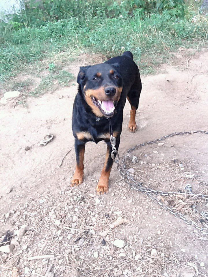 Duke missing since May/June 2012 from Dupuis Line Road, Westmeath in the Whitewater region, Pembroke, ON.  Duke an intact  6 years old pure bred king Rottweiler male has no micro-chip or tags.  Possible wearing a silver chain or black collar with cool dude stripes (or possibly no collar at all).  Please contact owner if seen at 613-795-2711.