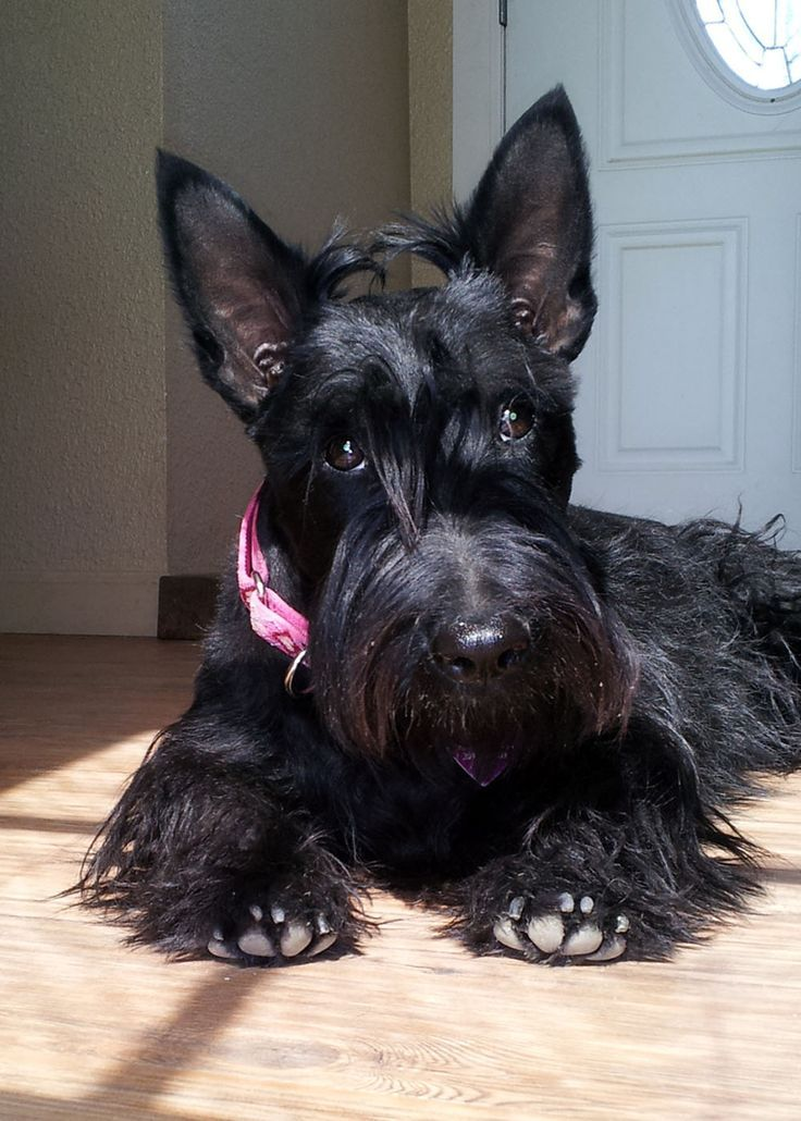Gorgeous Scottie Dog!                                                                                                                                                                                 More