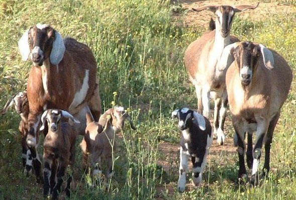 Nubian goats..one of the best milking goats