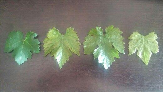 Four vitis vinifera vines I have growing in my garden in #johannesburg #southafrica #merlot #shiraz #syrah #cabernetsauvignon #pinotage #miguelchan #viticulture