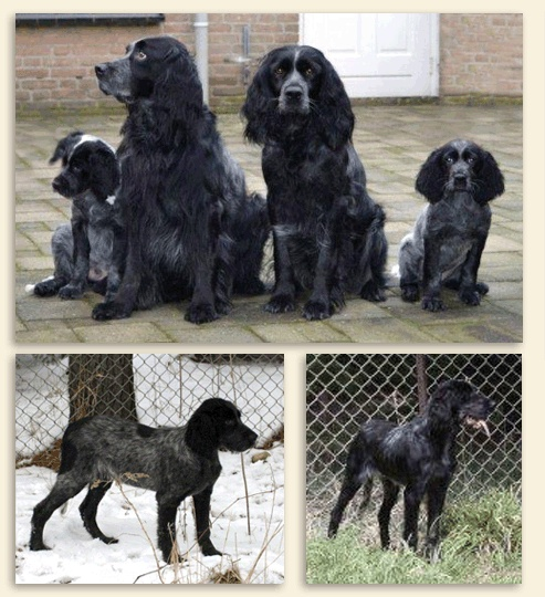 Brighthope Kennels - Blue Picardy Spaniels - Justy