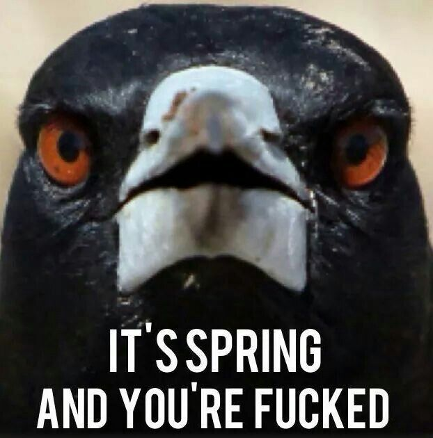 Australia Magpie Spring is swooping time! Nesting is serious business!!!