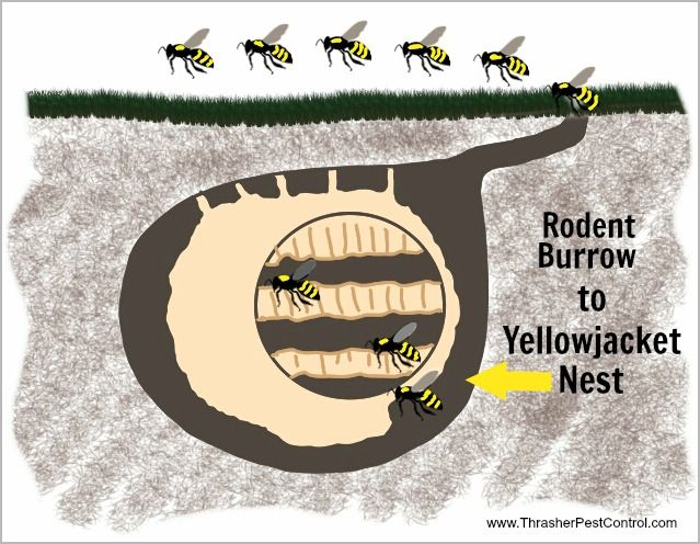 Diagram Of Yellow Jacket Nest Data Wiring Diagrams
