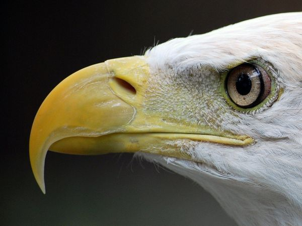 Bald Eagle. Just look at the intelligence in those eyes.
