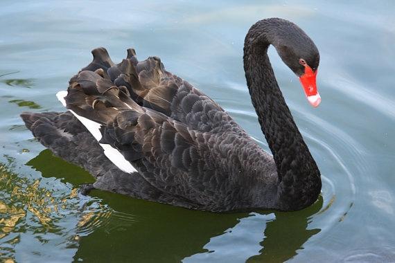 black swan animal - photo #21