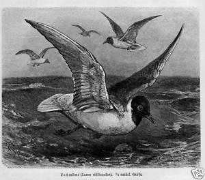 Stich von 1891 Vogel LACHMÖWE MÖWE | eBay