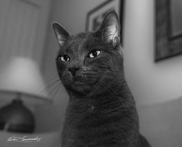 Since its #loveyourpetday here is a #petportrait  of my #russianblue. . . . . #cats #catlover #kitty #catsofinstagram #tokina1628 #catchclick_bnw #tokinausa #bnw_of_our_world  #instagram #top_bnw #monochromephoto #bnw_europe #ig_shots_bw #bnw_addiction  #masters_in_bnw #noir_shots #bnw_photografare #bnw_life #bnw_madrid #igersbnw  #bnw_globe #bnwcaptures#nikonnofilter #bnw_planet_2018 #westcoast_exposures #bnw_greatshots #catsagram