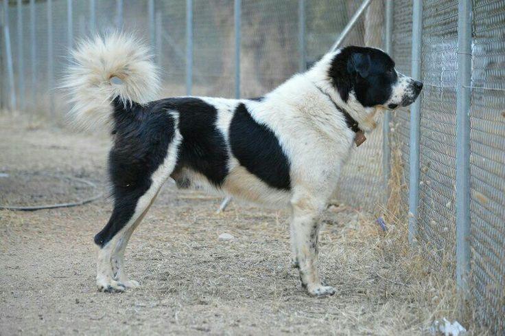 GREEK SHEPHERD DOG