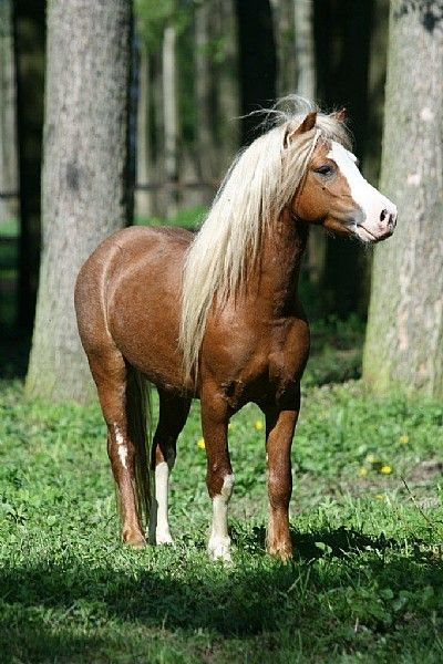 Welsh Pony | Welsh Mountain Pony - Urlaub mit Pferden : Reiturlaub : Reiterferien ...