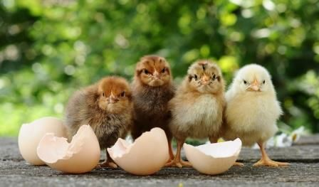 Baby chicks are the gift that keeps on giving! When they're mature, their eggs are a great source of protein that helps keep growing children disability-free.