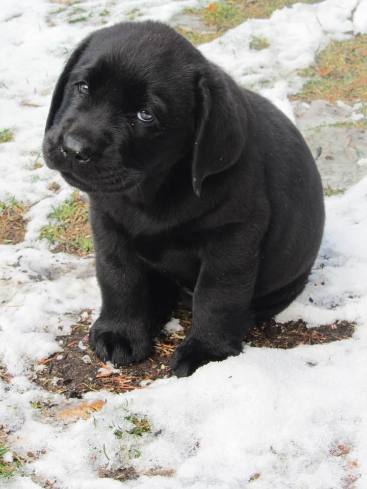 Awwww!!! Adorable black lab puppy! I can almost smell the puppy breath and feel the little sharp needle teeth!