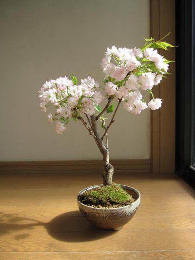 八重桜桜盆栽楊貴妃桜盆栽八重咲桜盆栽信楽鉢入り桜盆栽海外でもBONSAIボンサイと言います。八重桜盆栽