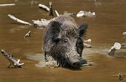 Wild boar, feral pig, feral hog- lives in woods and marshes.