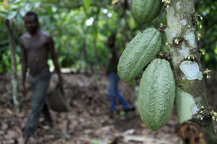 Why the world might be running out of cocoa farmers: Farmer Issiaka Ouedraogo walks past cocoa pods growing on a tree, on a cocoa farm outside the village of Fangolo, near Duekoue, Ivory Coast in May 2011.