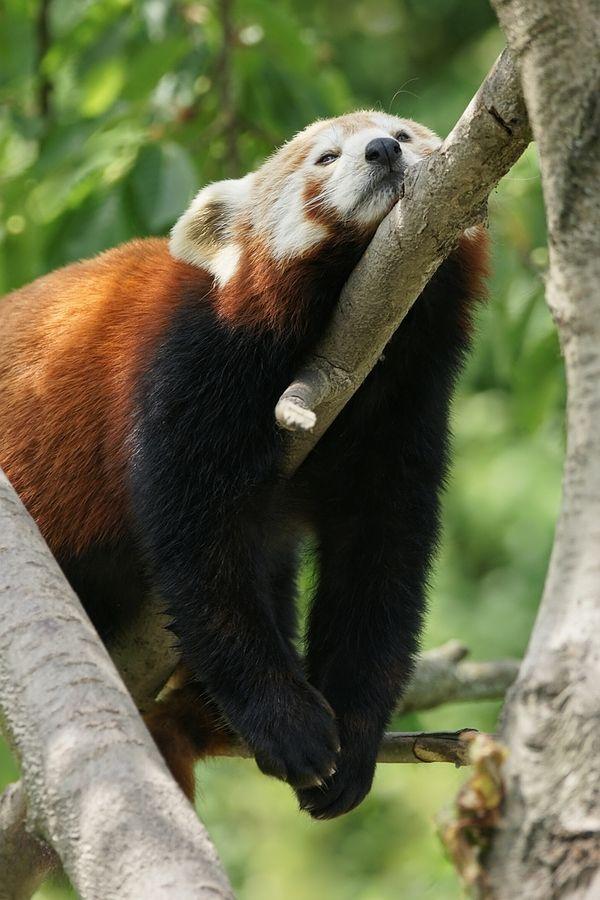 Red Panda Siesta Time