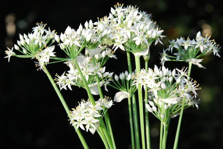 Allium tuberosum {{Schnittknoblauch}} Samen