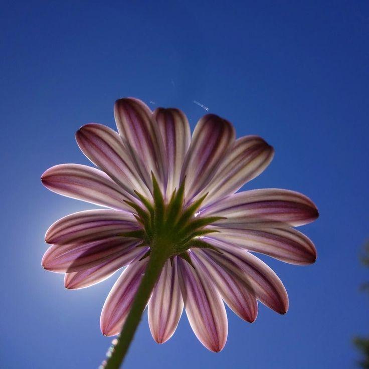Backlight flower  . . . . .  #flowersturk #rsa_nature #kings_flora #flowerporn #tgif_nature #flowerstalking #awesome_photographers #nature_sultans #flowerstarz #macro_perfection #floralfix #ptk_flowers #florecitas_mx #ig_flowers #floral_secrets #superb_flowers #floralstyles_gf #splendid_flowers #macro_mood #flowersandmacro #whim_fluffy #ip_blossoms #fabulous_shots  #iphoneography #iphoneonly #iphonesia #iphoneography #focalmarked #madras