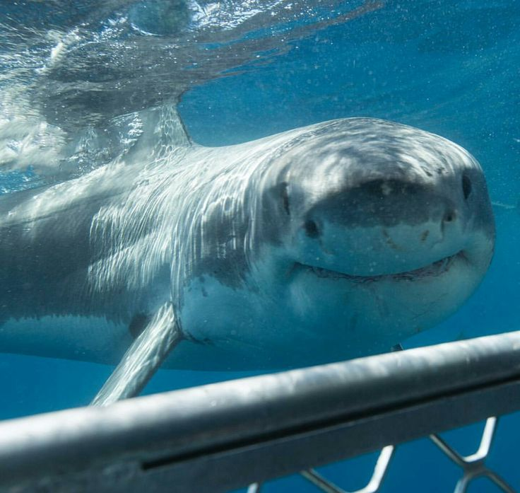 cute great white shark - photo #10