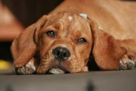 Portuguese Pointer / Perdigueiro Português / Portugues #Dogs #Puppy