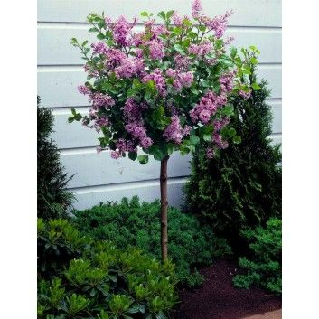 Dwarf Korean Lilac Tree - Syringa Palibin - Large Standard - 100-120cms tall