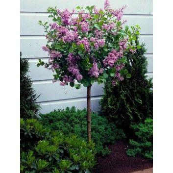 Dwarf Korean Lilac Tree - Syringa Palibin - Large Standard - 100-120cms tall