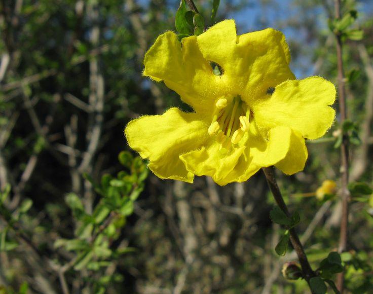 Rhigozum Obovatum flower        Karoo Gold/Yellow Pomegranate         Geelberggranaat         S A no 675