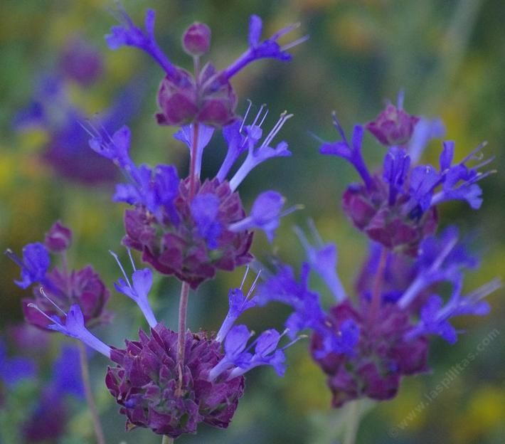 Salvia Celestial Blue is REALLY blue. Native plants are wonderfully fragrant and colorful. Celestial Blue has grown into a six ft. bush with no irrigation in both Los Angeles and San Diego. You'll have to water it a few times to start it, but then it's on a roll!
