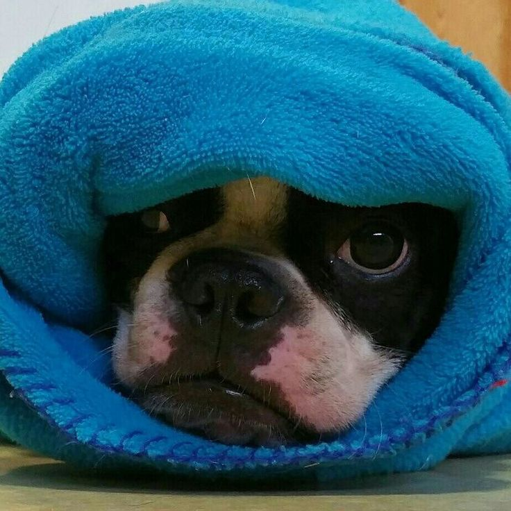 Pig in a blanket. #bostonterriers #ilovemybostonterrier #woofwoof #bostonterriersrock For more adventures of Joe Paw the Boston Terrier dog and Midnite the Black Kitty Cat, visit http://letgoofbeingperfect.com