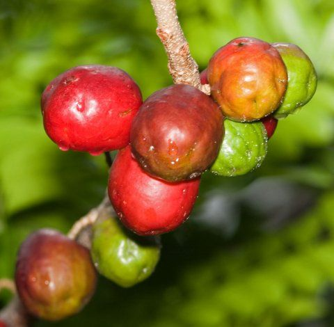 """Governor Plum- a fruit eaten as a snack ripe or green- we also use it to make a peppery (hot) concoction called """"Chow"""""""