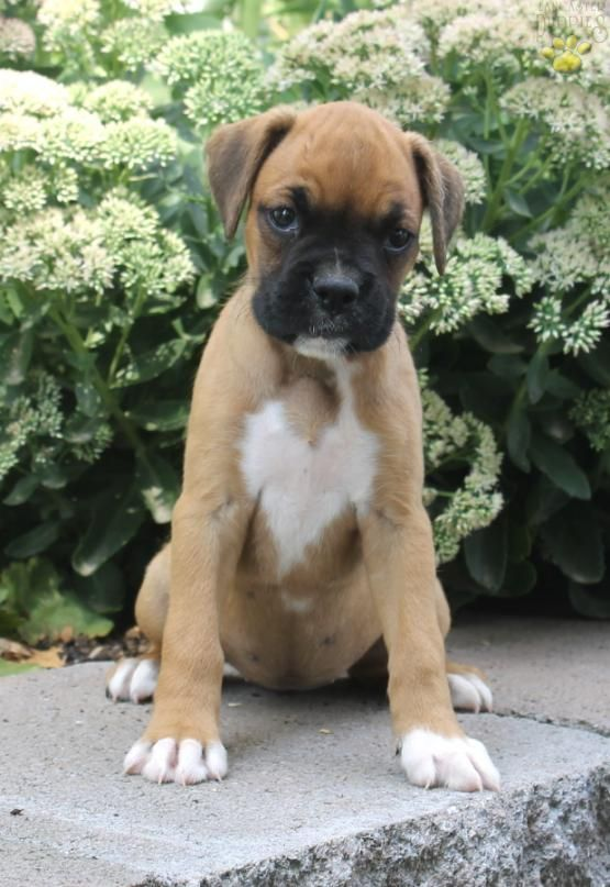 Missy Boxer Puppy for Sale in Narvon, PA Lancaster